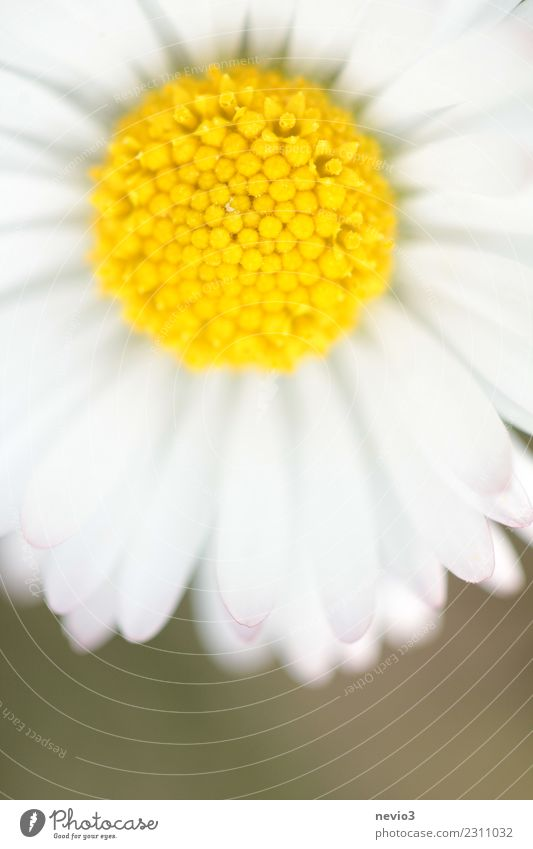 Daisies in close-up Summer Environment Nature Plant Flower Leaf Blossom Foliage plant Agricultural crop Garden Park Meadow Illuminate Beautiful Yellow White