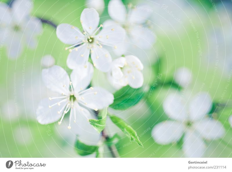 Nature Green White Beautiful Tree Plant Leaf Blossom Spring Blossom leave Twigs and branches Pistil Spring day