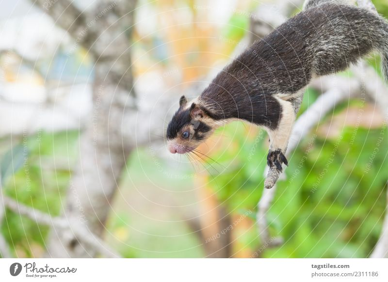 Indian Giant Squirrel sitting on branch Animal Asia Balapitiya Calm Climbing Eating Green Koddhuwa Koddhuwa Temple Kothduwa Kothduwa rajamaha viharaya