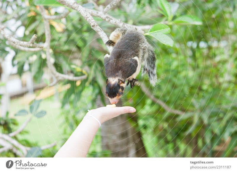 Sri Lanka, Indian Giant Squirrel sniffing at some food Animal Asia Balapitiya Bushes Calm calming Climbing Eating Feeding Green Heavenly Idyll Koddhuwa