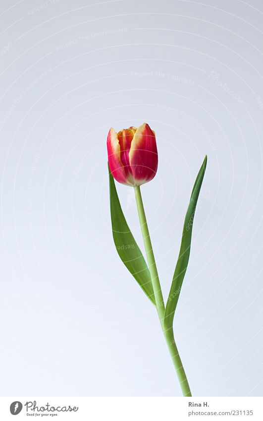 Flower Green Red Leaf Yellow Blossom Spring Esthetic Stalk Blossoming Tulip Spring flower