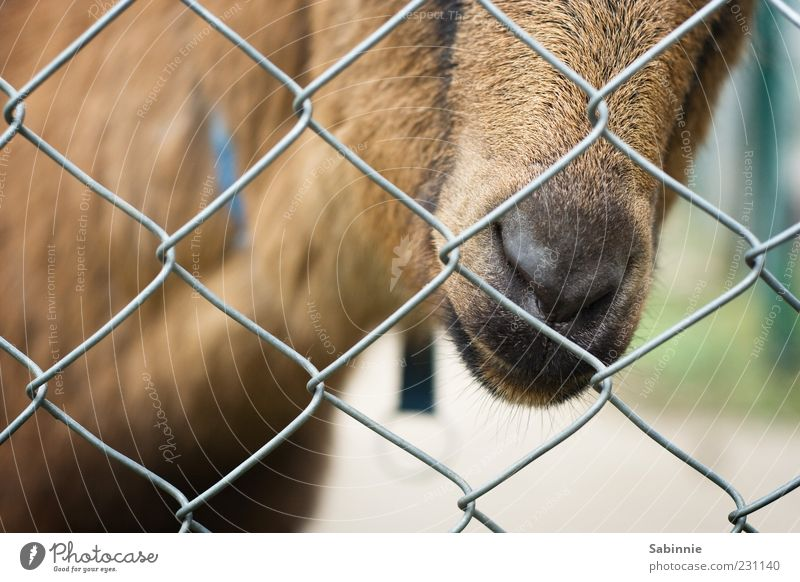 Green Animal Brown Nose Animal face Pelt Zoo Curiosity Fence Captured Muzzle Snout Grating Goats Farm animal