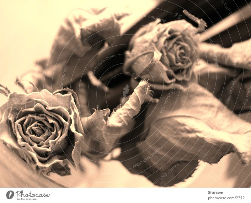 Flower Rose Things Sepia Dried