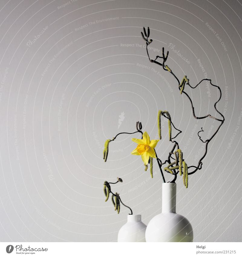 two white flower vases with curly branches of a hazelnut and flowering yellow narcissus against a white background Plant Spring Flower Blossom Narcissus