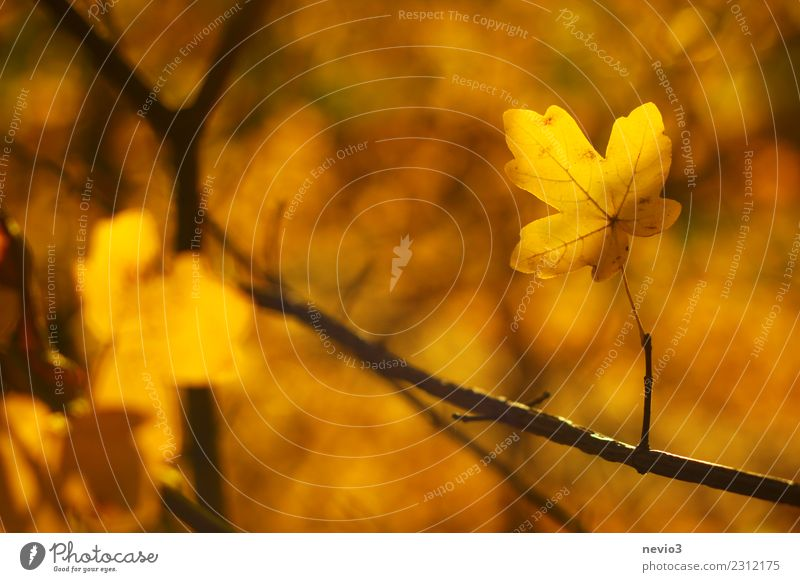 Yellow autumn leaf in sunlight Environment Nature Plant Sun Autumn Tree Leaf Garden Park Forest Gold Autumn leaves Autumnal Automn wood Autumnal landscape