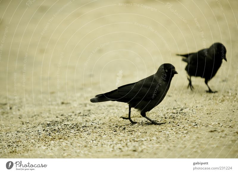Beach Jackdaws Animal Bird 2 Pair of animals Walking Black Together Movement Feather Plumed Raven birds Crow Beak Going Sand Exterior shot Close-up Deserted Day