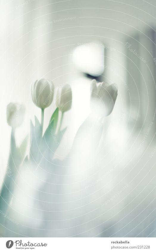 White Beautiful Plant Style Elegant Natural Fresh Esthetic Uniqueness Soft Kitsch Bouquet Fragrance Tulip Back-light Flower