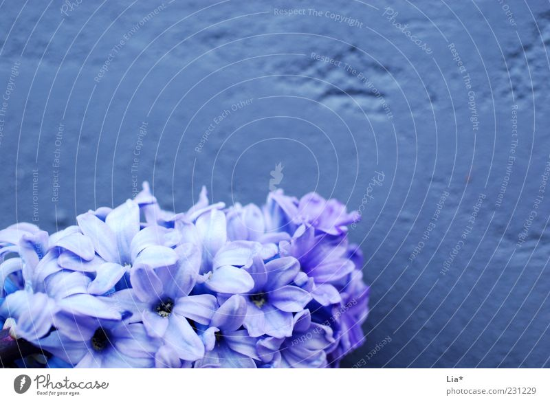 Hyacinth in front of purple wall Spring Plant Flower Blossom Blossoming Fragrance Blue Violet Spring flower Spring colours Decoration Background picture