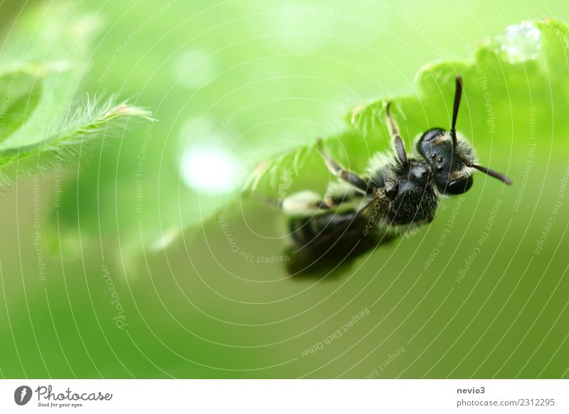 Insect hangs upside down on a leaf Animal Spring Plant Grass Leaf Fly Bee 1 Hang Wait Esthetic Beautiful Wild Soft Green Black Insect repellent Rain