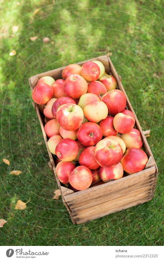 Red ripe apples - home harvest Vegetable Fruit Apple Summer Sun Garden Gardening Nature Landscape Plant Autumn Tree Grass Leaf Fresh Delicious Natural Juicy
