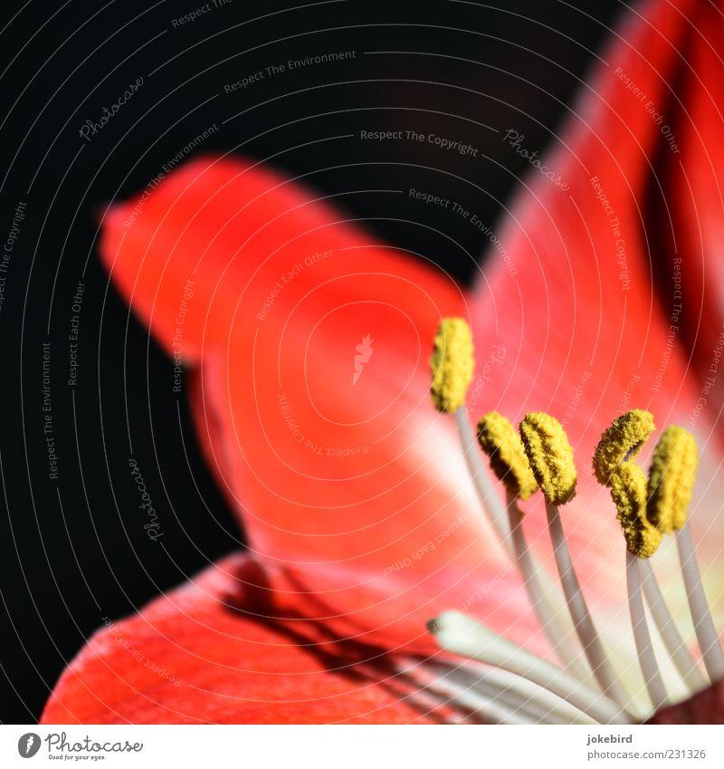 knight's star Plant Blossom Stamen Pollen Blossom leave Flowering plant Amaryllis Yellow Red Black White Delicate Multicoloured Interior shot Deserted