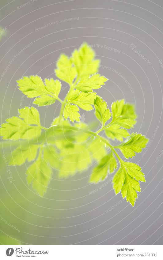 Green Plant Leaf Herbs and spices Foliage plant Agricultural crop Leaf green Chervil Light green