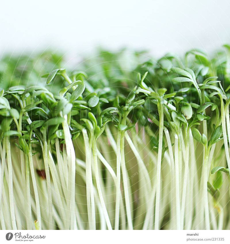 Green Herbs and spices Macro (Extreme close-up) Close-up Cress