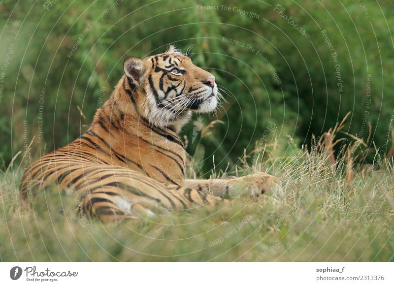 siberian tiger lying on grass raising its head and relaxing, zoo visit relaxed wild chilling animal animal park field head up endangered wildcat animals