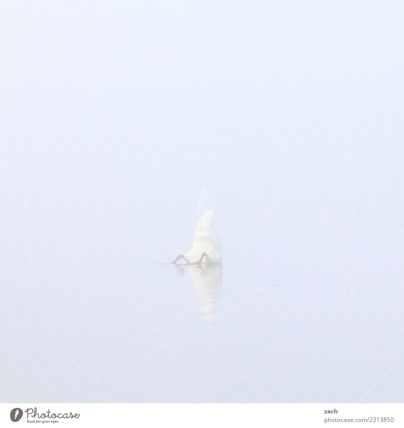 800 | dive down Water Autumn Fog Lake Bird Swan 1 Animal Swimming & Bathing Gray Subdued colour Exterior shot Deserted Copy Space left Copy Space right