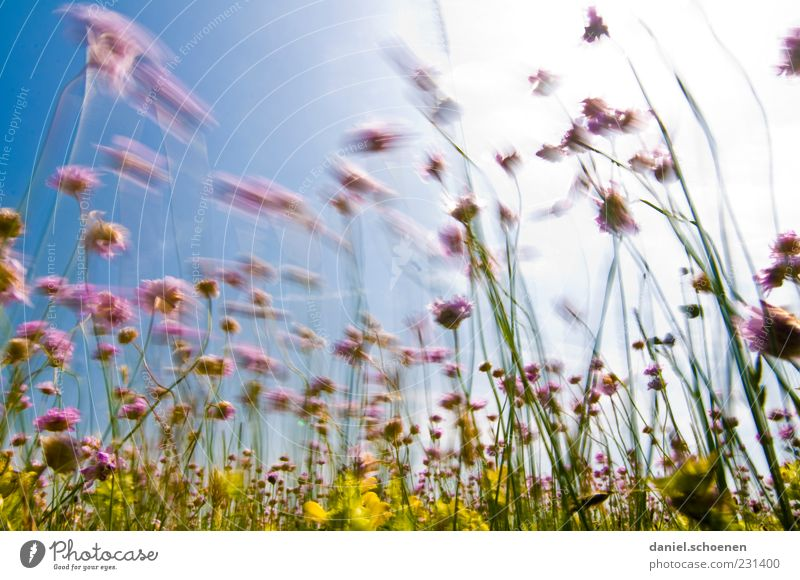 Plant Sun Summer Yellow Meadow Movement Grass Wind Natural Violet Beautiful weather Flower meadow Cloudless sky Nature
