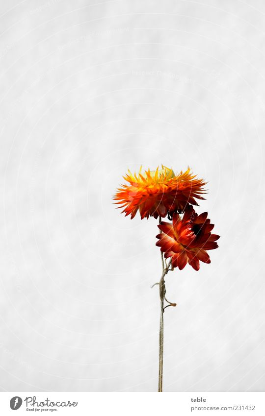 stick together Plant Flower Blossom Dried flower Blossom leave Stalk Decoration Esthetic Beautiful Natural Dry Multicoloured Yellow Gold Green Red White Orange