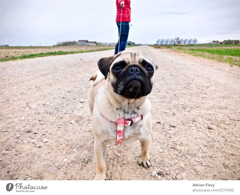 Pudge on the lead on gravel path Human being Going distance dog go walkies gravel road hike hiking landscape leash pathway pet podge pudge pug scenery scenic