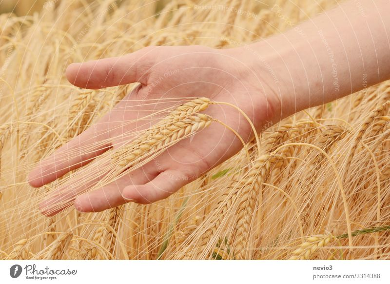 barley Beautiful Human being Hand 1 Yellow Barley Barleyfield Barley ear Grain Grain field Grain harvest Harvest Thanksgiving Nature Farmer Agriculture Gold