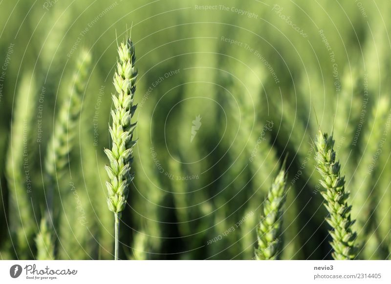 wheat Summer Environment Nature Landscape Plant Spring Grass Leaf Agricultural crop Meadow Field Work and employment Yellow Green Growth Grain Cornfield
