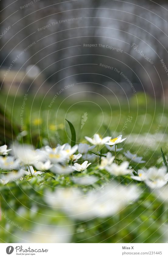 Nature White Flower Green Plant Leaf Meadow Blossom Grass Spring Garden Park Small Growth Multiple Blossoming
