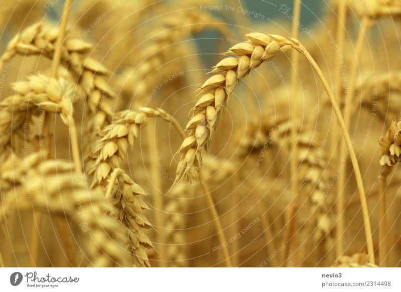 Wheat ears in midsummer Summer Sun Environment Nature Plant Grass Agricultural crop Meadow Field Yellow Gold Emotions Joy Anticipation Rural in the country