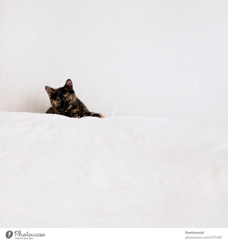 hoo-hoo Animal Pet Cat Animal face Pelt 1 Bright Cute White Bed Colour photo Subdued colour Interior shot Copy Space right Copy Space top Copy Space bottom