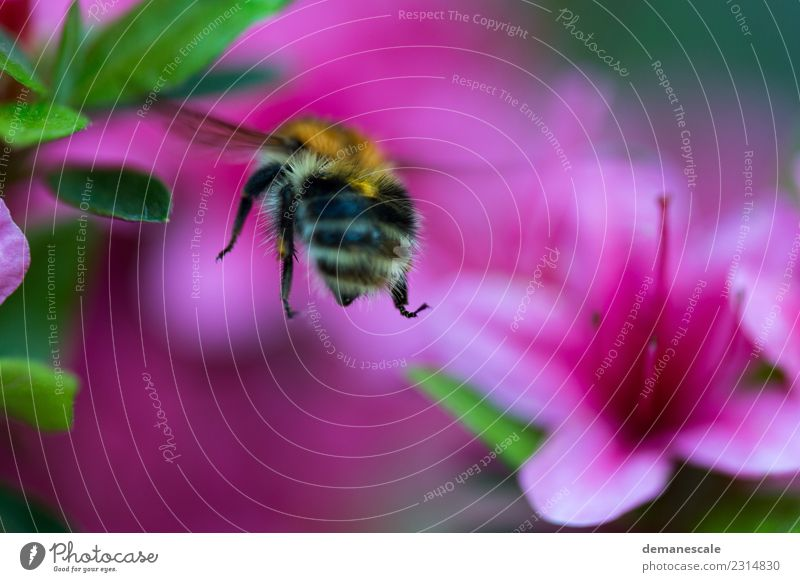 bumblebee Environment Nature Plant Flower Leaf Blossom Rhododendrom Garden Park Animal Bumble bee 1 Movement Blossoming Fragrance Flying To enjoy Illuminate