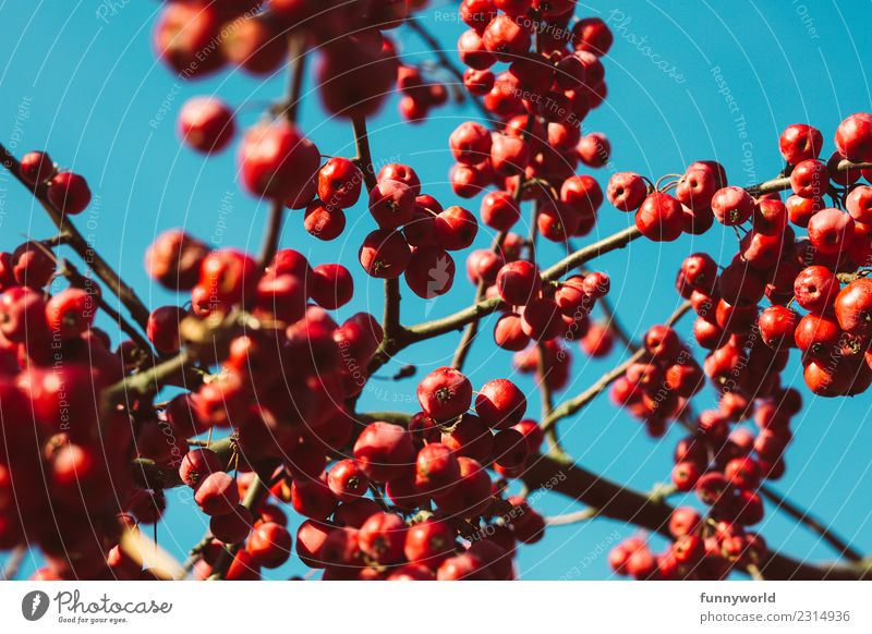 Red berries before blue sky Plant Sky Cloudless sky Tree Round Juicy Mature Autumn Berries Berry seed head Cherry Branch Twig Hang Many Group Fruit Sun Poison