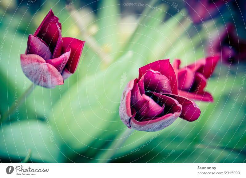 tulip Nature Plant Tulip Garden Park Green Pink Romance Esthetic Fragrance Colour Shopping Creativity Love Perspective Donate Bouquet Spring fever Multicoloured