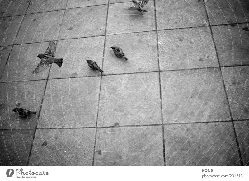 Take off Bird Wing 4 Animal Stone Flying Sparrow Passerine bird Easy Ease Black & white photo Copy Space right Copy Space bottom Flight of the birds Multiple