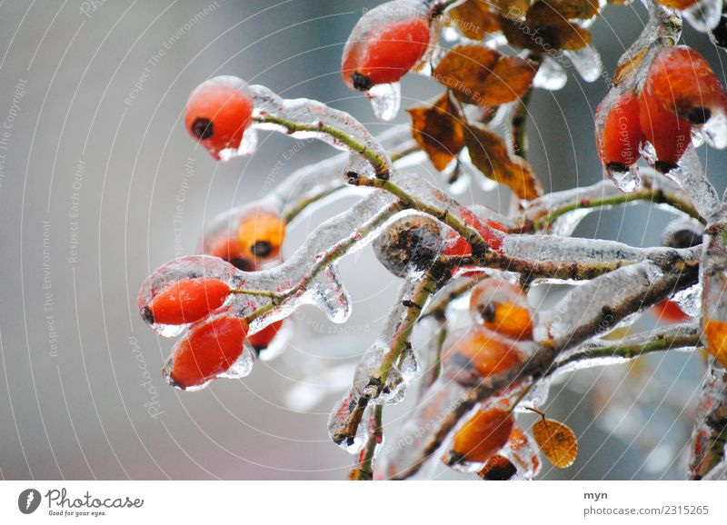 freezing Plant Bushes Foliage plant Freeze Cold Red Spring fever Distress Rose hip Jam Frozen Icicle Ice Ice crystal Drops of water Winter Winter mood