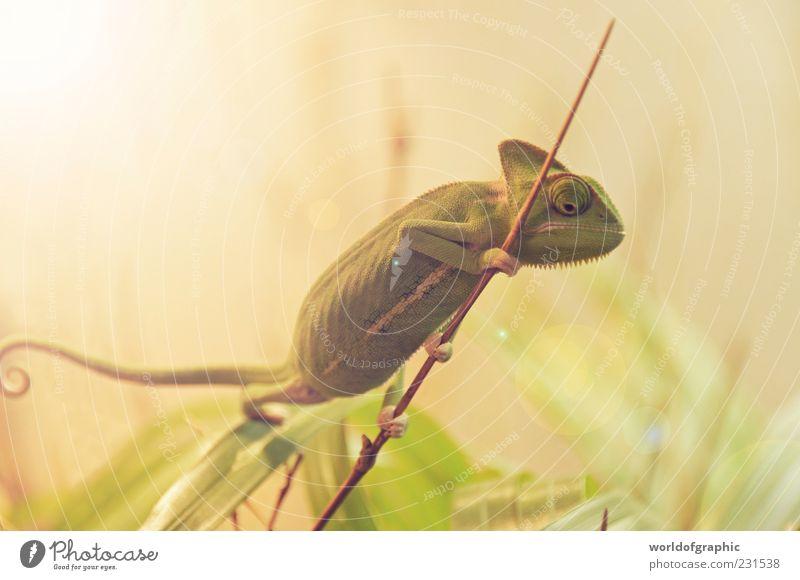 Green Animal Small Brown Wild animal Esthetic Exceptional Zoo Exotic Animal portrait Chameleon