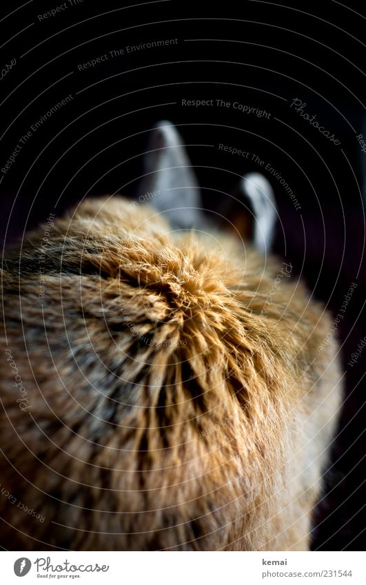 fur ball Brunette Red-haired Animal Pet Pelt Hare & Rabbit & Bunny pygmy hare Pygmy rabbit Ear Hare ears 1 Sit Colour photo Interior shot Close-up Detail Day