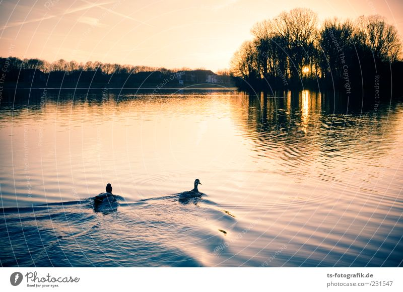 Don't swim in the light!!!! Nature Landscape Animal Water Sky Summer Beautiful weather Lakeside River bank Pond Duck Duck birds Mallard 2 Pair of animals Yellow