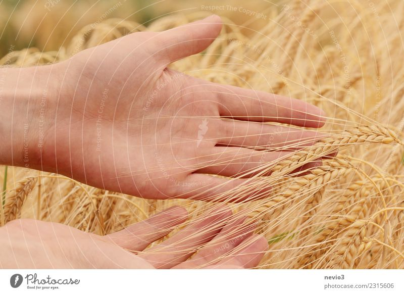 Barley ears in the hands of a farmer Summer Agriculture Forestry Craft (trade) Human being Masculine Arm Hand 1 Environment Nature Plant Agricultural crop