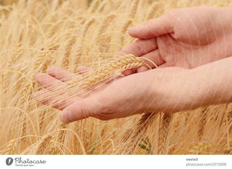 Hand holds barley ears Beautiful Human being Young man Youth (Young adults) Arm Fingers 1 Environment Nature Summer Plant Grass Agricultural crop Field