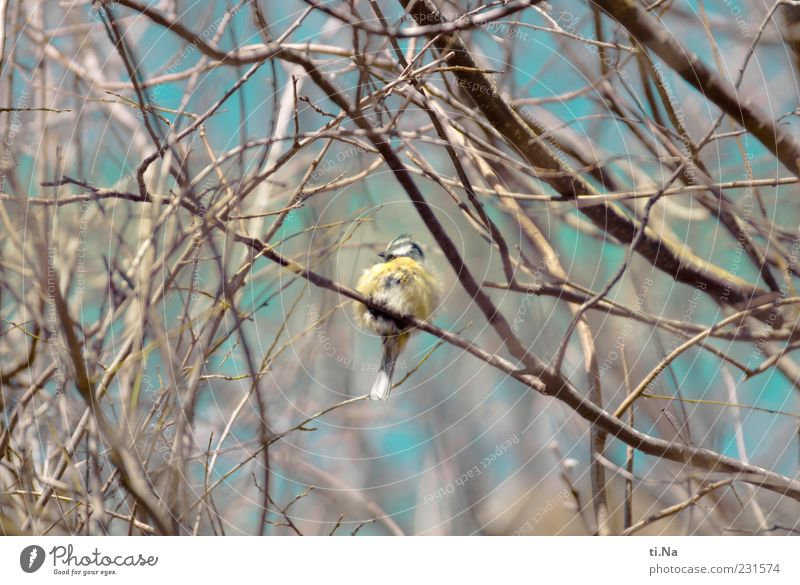 Nature Blue Animal Yellow Small Bird Sit Wild animal Cute Feather Twig Tit mouse