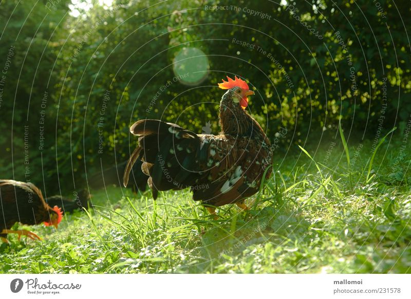 Slept late? Livestock breeding Environment Nature Animal Farm animal Rooster Cockscomb Poultry Feather Natural Meadow Morning Gamefowl Bushes Action Fresh