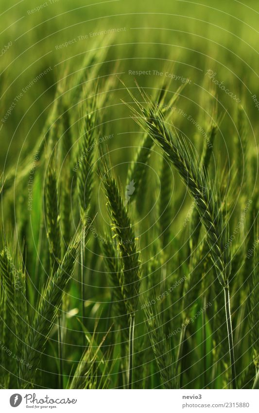 triticale Environment Nature Landscape Plant Spring Summer Agricultural crop Meadow Field Green Life Wheatfield Wheat ear Wheat grain Rye field Rye ear Hybrid