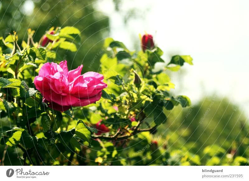 Nature Green Plant Summer Pink Natural Rose