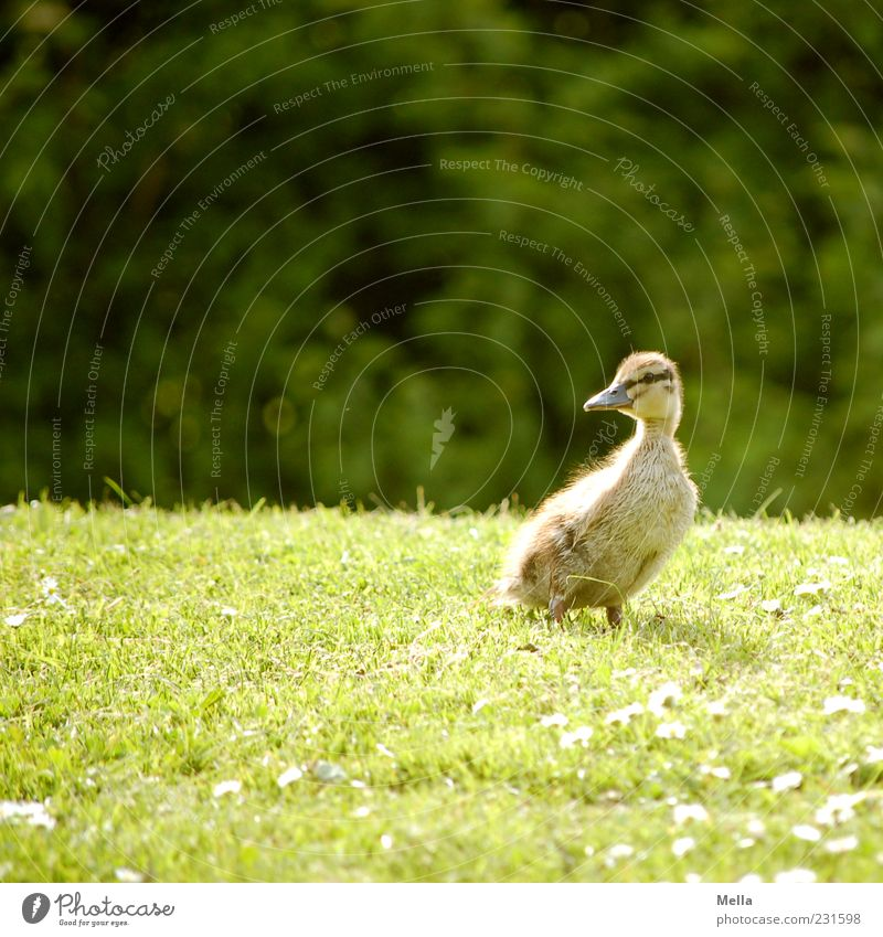 Nature Green Animal Meadow Environment Grass Small Spring Bird Baby animal Natural Stand Cute Duck Chick Duckling
