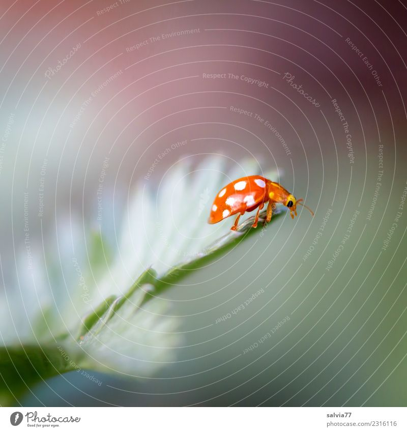 Goal achieved Environment Nature Spring Summer Plant Leaf Animal Beetle Insect Ladybird 1 Crawl Small Cute Above Gray Green Orange Uniqueness Discover Happy