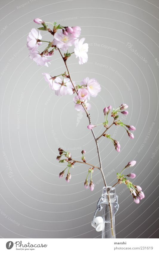 cherry brandy Nature Plant Flower Pink Cherry blossom Bottle Neck of a bottle Blossom Bud Blossoming Decoration Vase Colour photo Interior shot Deserted