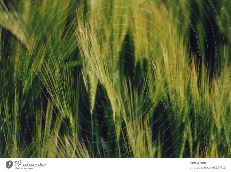 Grain Barley Immature