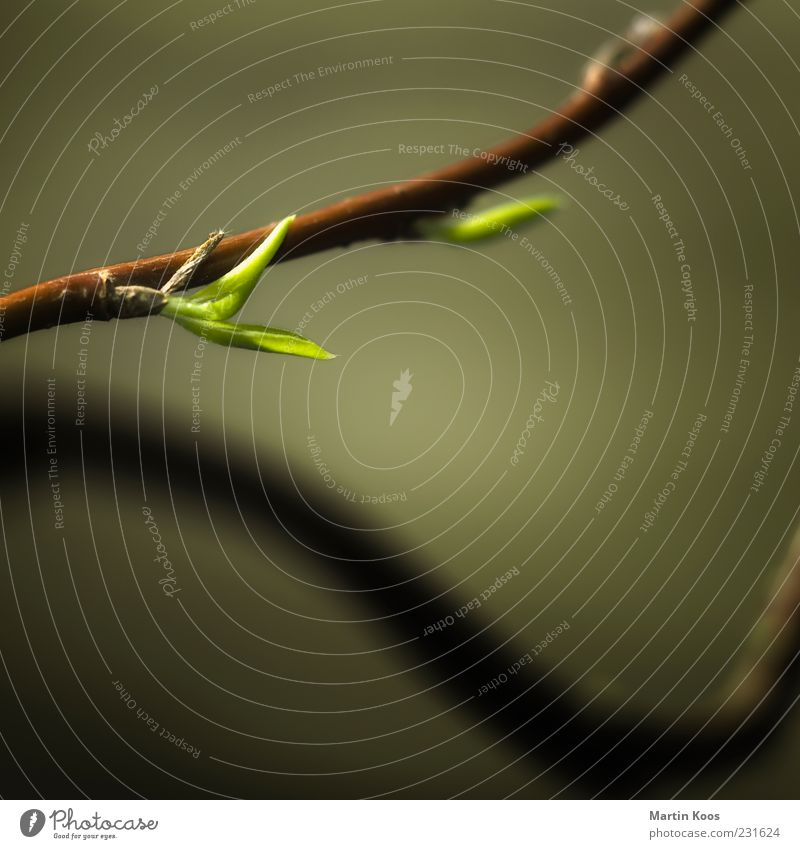 new beginning Nature Plant Leaf Blossoming Growth Esthetic Fresh Brown Green Spring fever Healthy Hope Life Style Transience Time Optimism Curved Juicy Light