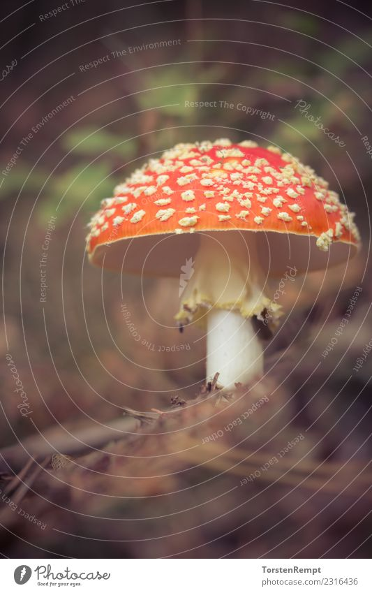 fly agaric Nature Forest Red Dangerous Amanita mushroom mushroom-like poisonous mushroom poisonous fungi beads agaricomycetes Poison Mushroom Colour photo