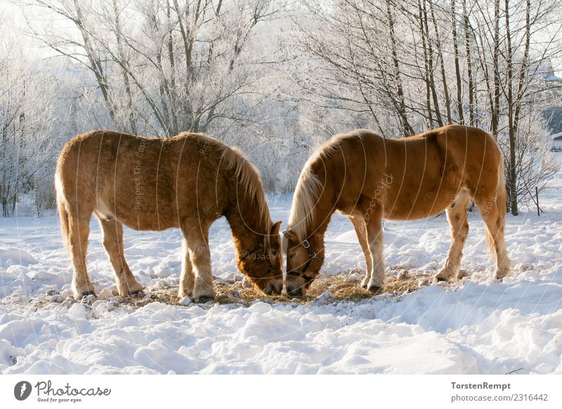 Two horses Winter Nature Animal Farm animal Horse 2 Herd To feed Brown White winter pasture Ice Snow Willow tree two Exterior shot Colour photo Deserted Day