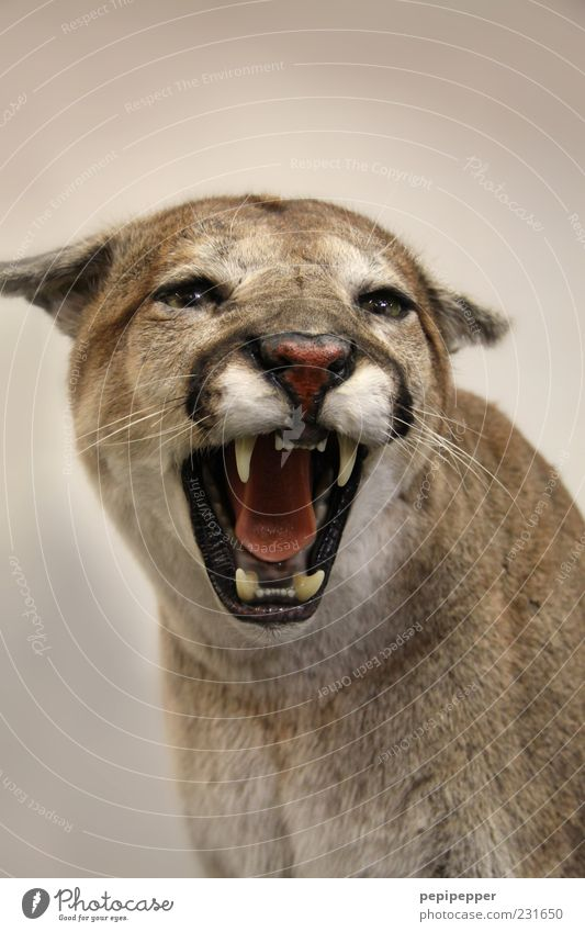 Cat Animal Power Wild Wild animal Threat Teeth Animal face Aggression Land-based carnivore Puma Snarl