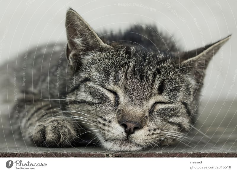 Sleeping mackerel cat Animal Pet Farm animal Cat Animal face Pelt Claw Paw 1 Lie Beautiful Brown Gray Contentment Relaxation Happy Tiger skin pattern Kitten